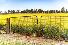 Addicted To Fences (red stilletto) Tags: northeastvictoria dookie canola spring farm farms fence fences