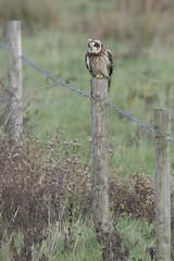 Perching Short Eared Owl (Ade Ludlam) Tags: short eared owl raptor bird prey somerset wildlife nature nikon d7200 sigma sigma150600