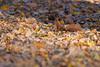 Hoernchen-2018-4189.jpg (Joachim Dobler) Tags: eichhörnchen eichhoernchen squirrel écureuil ardilla scoiattolo esquilo nature natur nagetier maple esquito wildlife animal cute naturephotography squirrellove wildlifephotography bestsquirrel nutsaboutsquirrels cuteanimals