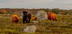 Jurmo Island, Finland. (Esa Suomaa) Tags: esasuomaa jurmo finland suomi islands öar highlandcattle autumn höst olympusomd