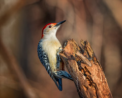 Beautiful Boy (Kathy Macpherson Baca) Tags: birds woodpecker redbellied elizabethmortonpreserve longisland ny autumn insects climb forest world earth planet feathers fly nature wildlife aves