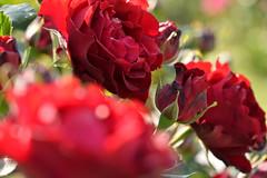 Rose 'Frensham' raised in UK (naruo0720) Tags: rose englishrose frensham englishrosescollection バラ イギリスのバラ イギリスのバラコレクション フレンシャム sigmalenses nikonscamera d610 sigma150mmf28exdghsm