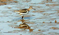 IMG_9403 Common Sandpiper (Actitis hypoleucos) (vlupadya) Tags: greatnature bird animal aves fauna indianbirds common sandpiper actitis kundapura karnataka