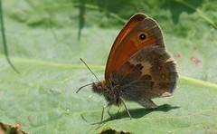 Small Heath -Pulborough Brooks RSPB -West Sussex (1) (Ann Collier Wildlife & General Photographer) Tags: smallheath pulboroughbrooksrspb westsussex rspbreserves royalsocietyfortheprotectionofbirds butterflies butterfliesmothsandcaterpillars