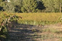 Cuando menos se espera... (esta_ahi) Tags: santmartísarroca vinya viña viñedo vineyard vitisvinifera penedès barcelona españa spain испания conill conejo oryctolagus cuniculus oryctolaguscuniculus leporidae mammalia fauna
