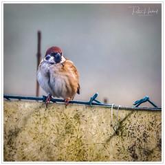 little bird (P.Höcherl) Tags: 2018 nikon d5600 tamron animal tier bird vogel tamronspaf150600mmf563vcusda011n sparrow spatz sperling garden garten