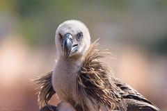 Retrato leonado (sergio estevez) Tags: aves bokeh campodegibraltar color fauna buitre buitreleonado luz nikonafs300mmf4 naturaleza pajaro sergioestevez explore