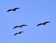 11-12-18-0041908 (Lake Worth) Tags: animal animals bird birds birdwatcher everglades southflorida feathers florida nature outdoor outdoors waterbirds wetlands wildlife wings