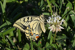 Swallowtail (Papilio machaon) Butterfly (Brian Carruthers-Dublin-Eire) Tags: swallowtail papilio machaon butterfly papiliomachaon swallowtailbutterfly animalia arthropoda insecta lepidoptera papilionidae pmachaon animal creature insect nature wildlife
