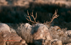 Bedded Beast (Fly to Water) Tags: mule deer trophy monster nontypical non typical antlers wild wildlife outdoors bed bedded photography professional big game sunrise nikon 600mm f4 fl utah odocoileus hemionus buck male
