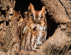 Red-morph Eastern Screech Owl (rob.wallace) Tags: fall 2018 redmorph eastern screech owl