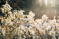 Sunny and -12 °C (10 °F) (HW111) Tags: bokeh marsh morning nature park plants snow sparkles sunlight
