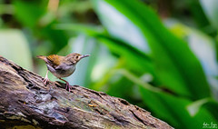 White-chested Babbler / Trichastoma rostratum (Burung Telanjuk) (Hafiz.Soyuz.Photography™) Tags: bird nature sony a6000 whitechested babbler forest jungle wildlife