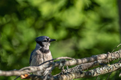 How's My Profile (rdubreuil) Tags: birds bluejays nature outdoors wildlife avian feathers blue perched jay branch branches leaves beak fauna cyanocittacristata corvidae passerine perching