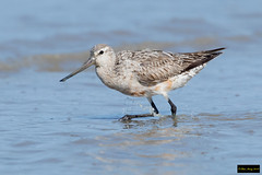 Bar-tailed Godwit (Limosa lapponica) (Dave 2x) Tags: limosalapponica limosa lapponica bartailedgodwit bartailed godwit sandpiper cairns cairnsesplanade queensland australia nearthreatened