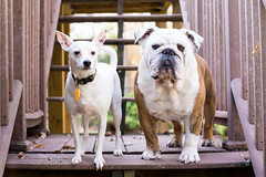 Mr. Truck and Cousin Russell (Ginny Williams Photography) Tags: bulldog englishbulldog dogs playing fall leaves video englishbulldogs jackrussellterrier