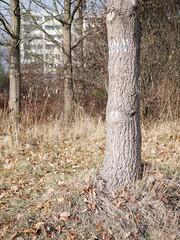 Der Baum. (Wenig Blau.) / 19.11.2018 (ben.kaden) Tags: berlin hohenschönhausen neuhohenschönhausen stadtnatur vincentvangoghstrase 2018 19112018
