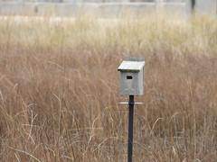 Tree Swallow nesting box at Montrose Dunes. (Smith Birding) Tags: tachycinetabicolor treeswallow chicago montrosepoint montrosepointbirdsanctuary montrosedunes photography nature wildlife coolpixp1000 nikon birds