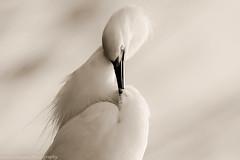 Twisted (danny.mayan1386) Tags: bombayhook egret egrets