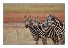 Zèbres Taita Hills (Claire PARMEGGIANI Photos) Tags: africa africangallery africanlife africanwildlife eastafrica gamedrive kenya safari wildlife wildafrica zebra