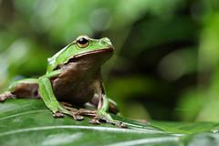 2J4A8076 (ajstone2548) Tags: 12月 樹蛙科 兩棲類 翡翠樹蛙