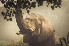 mighty and gentle--2 (andy_8357) Tags: national zoological park new delhi newdelhi india gentle mist zoo elephant sony a6000 e mount emount mirrorless alpha 6000 ilce6000 ilcenex sel55210 55210mm f45f63 oss telephoto zoom powerful nature animal animals eyes mighty portrait