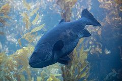 Big Fish. (LisaDiazPhotos) Tags: birch aquarium la jolla lisadiazphotos san diego big fish