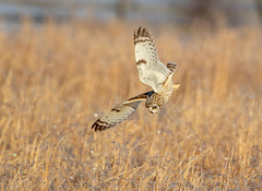 On the Attack!... (DTT67) Tags: shortearedowl seo owl 1dxmkii 1000mm 500mm 2xtciii canon hunting birdsinflight bif flight raptor birdsofprey birds nature wildlife
