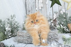 Cute Kitten Pics (dollfacepersiankittens.com) Tags: persian kittens kitten cute pictures cat cutekittenpictures cutecatpictures doll face luxury for sale dollface catstagram catsofgoogle catsoftheworld catsofig
