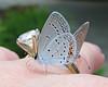 diamond delights (Vicki's Nature) Tags: easterntailedblue tiny blue butterfly fingers hand diamond gibbsgardens georgia vickisnature canon s5 5727 two pair supermacro