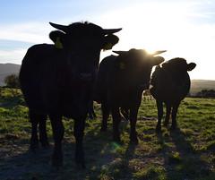 Dexters (conall..) Tags: dexter horns cattle silhouette herd ballybannon ballybannan agriculture field northernireland intothelight pasture grass grassfed evening low sun manus dexters beef