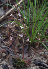 Stylidium eriorhizum, Paluma - Hidden Valley, northwest of Townsville, QLD, 25/12/18 (Russell Cumming) Tags: plant stylidium stylidiumeriorhizum stylidiaceae hiddenvalley paluma townsville queensland
