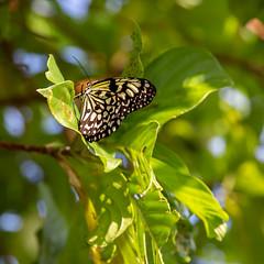 Taiwan butterfly (Thea Teijgeler) Tags: taiwan butterfly vlinder greenislandtaiwan greenisland