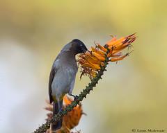 Black-eyed Bulbul (leendert3) Tags: leonmolenaar southafrica wildlife nature phalaborwa birds blackeyedbulbul naturethroughthelens