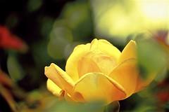 Summer Roses of Bulla (maginoz1) Tags: flower roses yellow orange white light abstract art contemporary bullarosegarden melbourne victoria australia summer january 2019 canon g3x manipulate curves