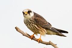 IMG_1115 (chavko) Tags: jozefchavko canon flickr bird hawk chavko falco vespertinus redfooted falcon slovakia sky animal photo tree forest people