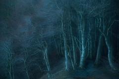 among giants (Sandra Bartocha) Tags: sandrabartocha rügen jasmundnationalpark beech trees europeanbeech woods wood beechwood gettingdark aftersunset bluehour