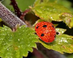 7-spot umbrella! (Fizzog2) Tags: rain coccinella7punctata insect ladybird 7spotladybird coccinellaseptempunctata