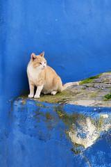 Chat rue de Monchique Portugal _0256 (ichauvel) Tags: chat cat animal félin portrait murbleu bluewall exterieur outside rue street chatroux redcat monchique algarve portugal europe automne autumn regarder looking peinturemurale