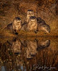 Otter Family Portrait (~ Bob ~) Tags: otterfamily wildlife eliteanimals nikon otters cute mammal d500 whidbeyisland sunrise riverotter feisol nature washingtonstate pacificnorthwest
