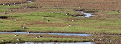 Img_4018 (steven.heywood) Tags: lapwing peewit plover goldenplover