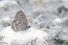 Lang's Short-tailed Blue (Alex Perry Wildlife Photography) Tags: langsshorttailedblue blue leptotes leptotespirithous lycaenidae butterfly butterflyphotography wildlifephotography alexperry alexperryphotography macro macrophotography insect westernrodopi bulgaria