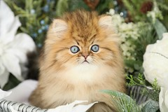Cute Cat Pics (dollfacepersiankittens.com) Tags: persian kittens or sale chinchilla golden photography winter doll face dollface traditional teacup catsofinstagram catstagram catpictures trisha johnson