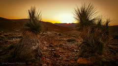 Sunset with grass trees, South Australia, Dec, 2018 (Catherine Gidzinska and Simon Gidzinski) Tags: upallina 2018 australia december endofyear flindersranges landscape mountains outback panorama red redearth roadtrip sa southaustralia summer sunset sun light grasstree blackboy xanthorrhoea