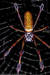 @MatthewCicanese-0007.jpg (Matthew Cicanese) Tags: goldenorbweaver spider litraambassador matthewcicanese litra arachnid mattcicanese litrapro florida goldensilkorbweaver nephila arthropod arthropoda