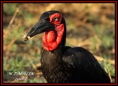 GROUND HORNBILL (Bucorvus leadbeateri)......MASAI MARA......SEPT 2018 (M Z Malik) Tags: nikon d3x 200400mm14afs kenya africa safari wildlife masaimara keekoroklodge exoticafricanwildlife exoticafricanbirds ngc npc