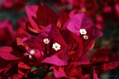 BUGAMBILIA (jesus gonzalez ramirez) Tags: flor flower flowers bugambilias bunga color picture