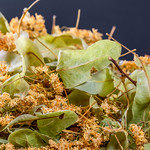 Dried Linden flowers for tea thumbnail