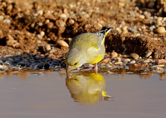 Greenfinch  ---- Carduelis chloris (creaturesnapper) Tags: spain almeria birds europe finches siteno448 greenfinch carduelischloris