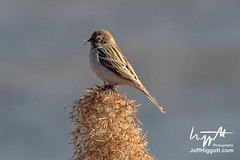 Pallas's Reed Bunting (Jeff Higgott (Sequella.co.uk)) Tags: jeffhiggott jeffhiggottphotography sequella southkorea bird marsh reed sedge